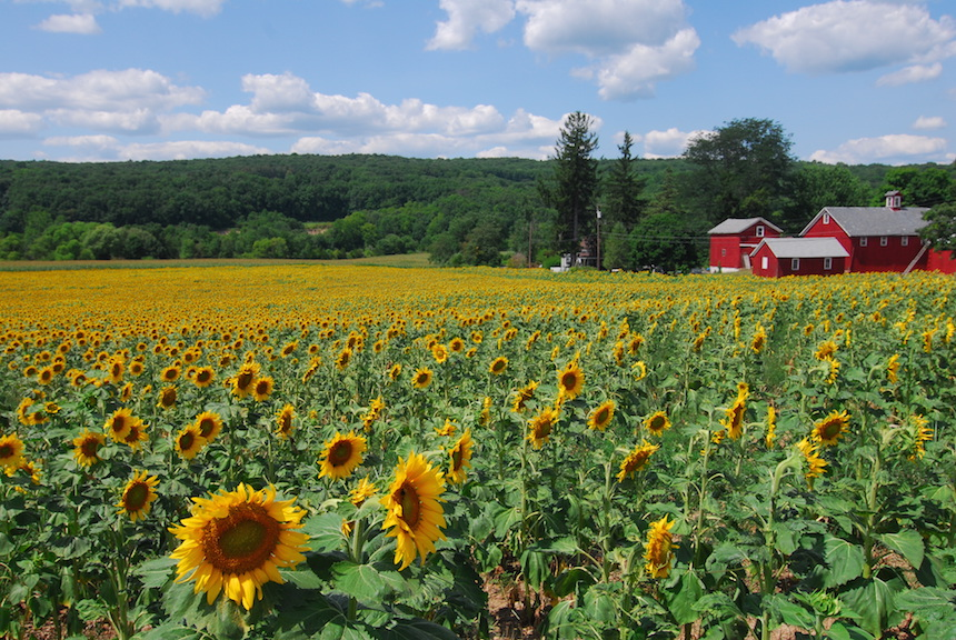 Larry Kerner, Sussex Cty., N.J. Sunflowers, Photography.