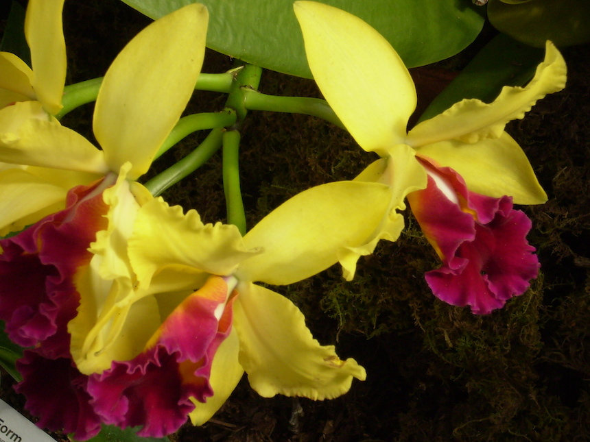 "Joanne Petuchovas, ""Yellow Cattleya"", Photography."