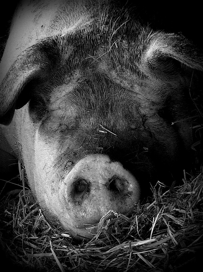 "Lisa Cohn, ""Resting Pig"", photography."